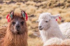 Porträt von Lama-Alpakas mit bunter Dekoration im altiplano stockfoto
