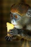 Porträt von Lesser Spot-Nosed Monkey Lizenzfreie Stockfotos