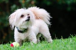 Porträt von maltipoo Hund spielend mit Ball lizenzfreies stockbild