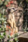 Porträt von meerkats lizenzfreies stockbild