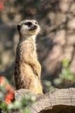 Porträt von meerkats stockfotos