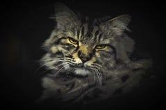 Porträt von meiner norwegischen Cat Neo stockfoto