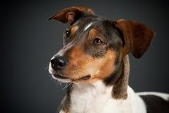 Porträt von Misch-zucht Terrier stockfotografie