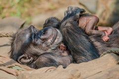 Porträt von Mutter Schimpansen mit ihrem lustigen kleinen Baby Stockfotos