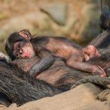 Porträt von Mutter Schimpansen mit ihrem lustigen kleinen Baby Lizenzfreie Stockfotografie