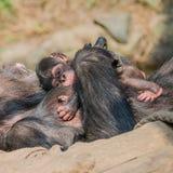Porträt von Mutter Schimpansen mit ihrem lustigen kleinen Baby Lizenzfreies Stockfoto