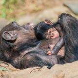 Porträt von Mutter Schimpansen mit ihrem lustigen kleinen Baby Stockbild