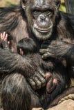 Porträt von Mutter Schimpansen mit ihrem lustigen kleinen Baby Stockfoto
