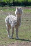 Porträt von netten Alpaka oder Vicugna pacos lizenzfreie stockbilder