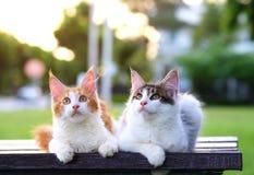 Porträt von 2 netten Katzen, die auf einem Stuhl im grünen Garten mit Hintergrund des weichen Lichtes sitzen Zwei schöne wundernd Stockfoto