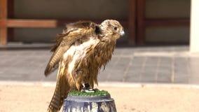 Porträt von Peregrine Falcon auf der Stange an Falke Souq-Markt, Doha, Katar stock video