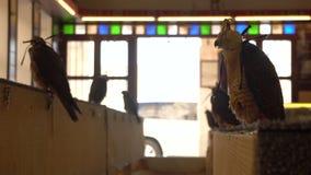 Porträt von Peregrine Falcons führen herein das Sitzen auf der Stange an Falke Souq-Markt, Doha, Katar hinters Licht stock video