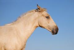 Porträt von Pferden auf einem Hintergrund des blauen Himmels Lizenzfreies Stockbild