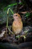 Porträt von rostigem-naped Pitta (Hydrornis-oatesi) Lizenzfreie Stockbilder