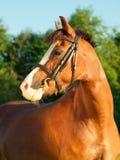 Porträt von Sauerampferwaliser-Pony Stockfotografie