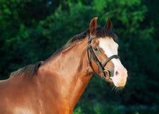 Porträt von Sauerampferwaliser-Pony Lizenzfreie Stockbilder
