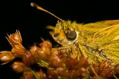 Porträt von Schmetterling Hesperia-Komma Lizenzfreies Stockbild