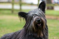 Porträt von Skye Terrier Stockbild
