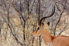 Porträt von Springbock Antidorcas Marsupialis Lizenzfreies Stockfoto