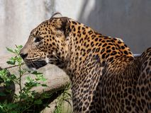 Porträt von Sri Lanka-Leoparden Stockfotos