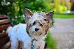 Porträt von Terrier Stockfoto