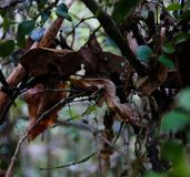 Porträt von Uroplatus-phantasticus, der satanische Blatt-angebundene Gecko in Nationalpark Fianarantsoa Ranomafana, Madagaskar stockfoto