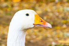 Porträt von weiße Gänse mit einem orange Schnabel lizenzfreies stockfoto