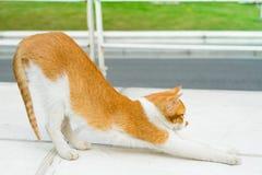Porträt von Weißlichtbraun-Katzenyoga Stockbilder
