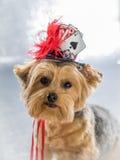 Porträt von Yorkie ihren glücklichen Hut tragend Stockfotografie