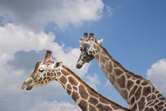 Porträt von zwei Giraffen auf bewölktem Hintergrund Stockfotos