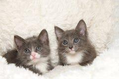 Porträt von zwei grau und weiße Kätzchen der getigerten Katze im Schaffell lizenzfreie stockfotografie