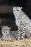 Porträt von zwei jungen Geparden lizenzfreies stockfoto
