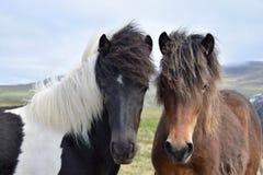 Porträt von zwei jungen isländischen Pferden Pinto und Bucht stockfotos