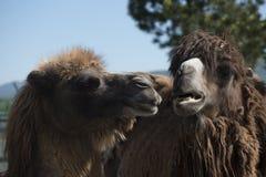 Porträt von zwei Kamelen lizenzfreies stockbild