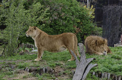 Porträt von zwei Löwen entspannen sich Stockbild