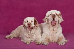 Porträt von zwei netten clumber Spaniels Stockfotos