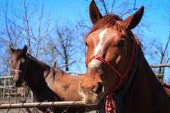 Porträt von zwei Pferden in der Landschaft Stockbilder