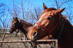 Porträt von zwei Pferden in der Landschaft Lizenzfreie Stockfotos