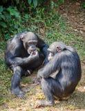 Porträt von zwei Schimpansen, die Süßkartoffeln beim Sitzen auf dem Boden im Regenwald des Sierra Leone, Afrika essen Stockfotografie