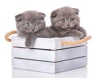 Porträt von zwei schottischen Kätzchen Lizenzfreies Stockbild