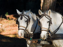 Porträt von zwei weißen Arbeitspferden mit Geschirr und Blinkern Lizenzfreie Stockfotos