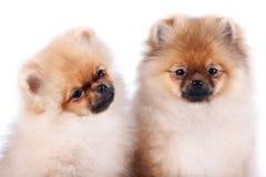Porträt von zwei Welpen eines Spitzhundes lizenzfreie stockfotografie