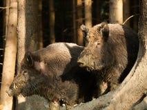 Porträt von zwei wilden Ebern - Sus scrofa - im Herbstwald Lizenzfreies Stockfoto