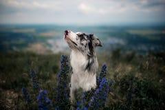 Porträt weißes border collie sitzen an den Bergen in den Blumen lizenzfreies stockfoto