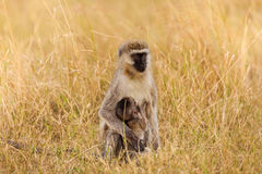 Porträt weiblichen vervet Affen, der ihr Baby säugt Stockbild