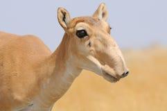 Porträt weiblicher wilder Saiga-Antilope in Kalmückien-Steppe Stockfoto