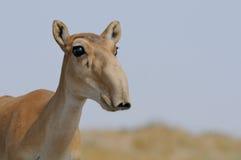 Porträt wilder Saiga-Antilope in Kalmückien-Steppe Lizenzfreie Stockbilder