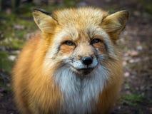 Porträtabschluß des roten Fuchses oben stockbild