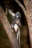 Porträtaffe auf Baum (Presbytis-obscura Reid). Stockfotos