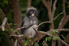 Porträtaffe, der auf Baum sitzt (Presbytis-obscura Reid). Lizenzfreies Stockfoto